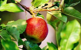 Bild: Apfel